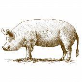 vector illustration of engraving big hog on white background poster