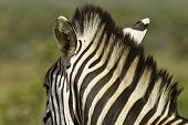 zebra neck with long mane standing straight up poster