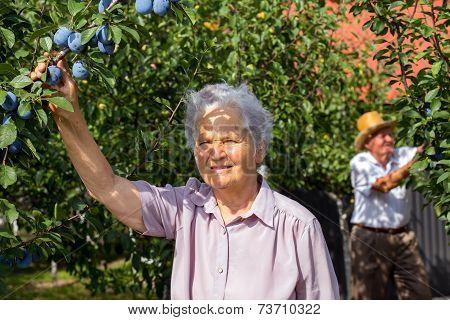 Retiree woman checks plums