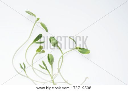 Organic green young sunflower sprouts on white background