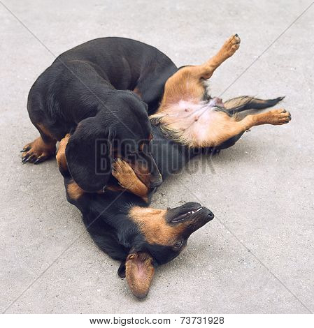 Two Dachshund Dogs Playing