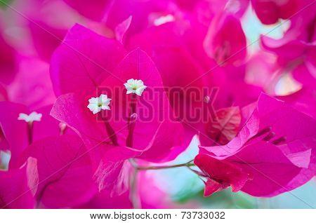 Bougainvillea Flowers Close Up