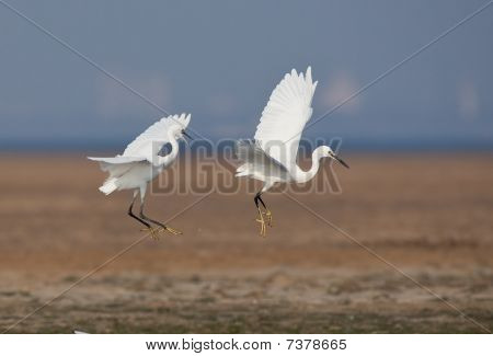 The egret that is lightly moving to dance