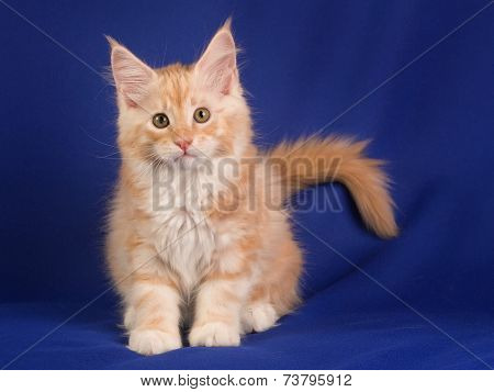 Portrait of sweet pet cat MAINE - COON poster