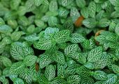 Dark Green Leaves of Fittonia Acanthaceae also called Nerve Plant or mosaic plant poster