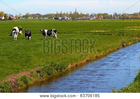 Typical dutch landscape with cows farmland and a farm house