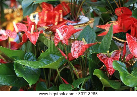 red anthurium flower in botanic garden (anthurium andraeanum, araceae orarum) poster