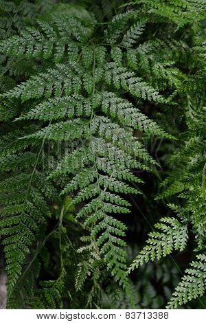 Green Leaves Of A Fern Plant
