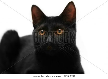 Adorable isolated black kitten poster