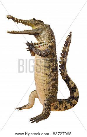 Crocodile Hello Isolate On White Background