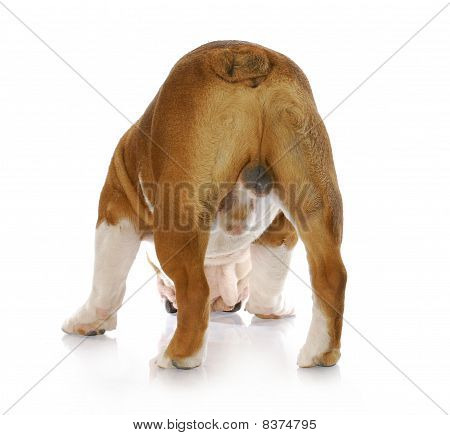 Male Dog Backside