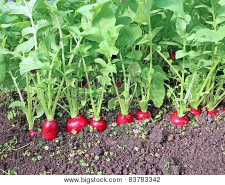 Ripe Oval Red Radishes