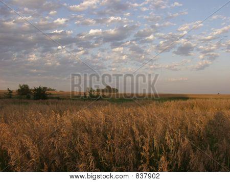 Kansas Wheatfield