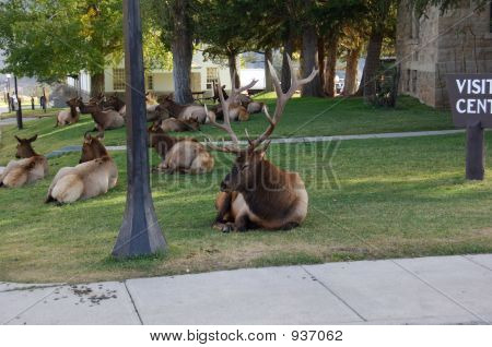 Elk Herd In Yellowstone