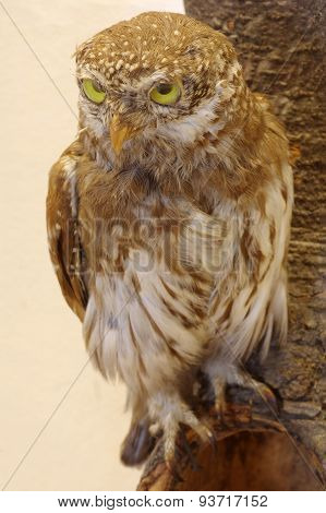 pygmy owl taxidermy
