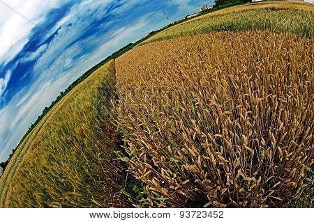 Different Varieties Of Wheat In Fisheye View
