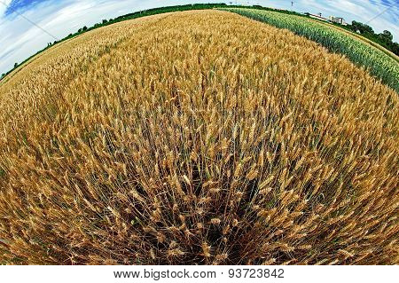 Different Varieties Of Wheat In Fish-eye View 2