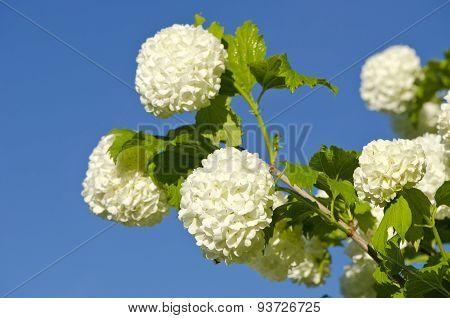 Beautiful Viburnum Guelder Rose Snowball Tree (viburnum Opulus) Blossoms