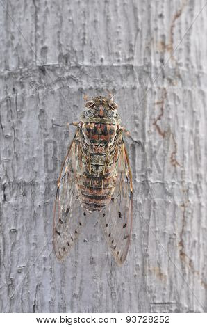Cicada on the tree