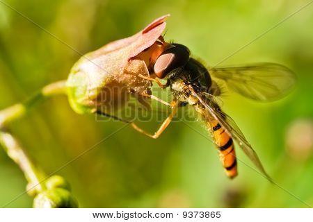 Hoverfly (episyrphus Balteatus)