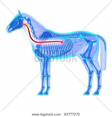 Horse Esophagus - Horse Equus Anatomy - Isolated On White