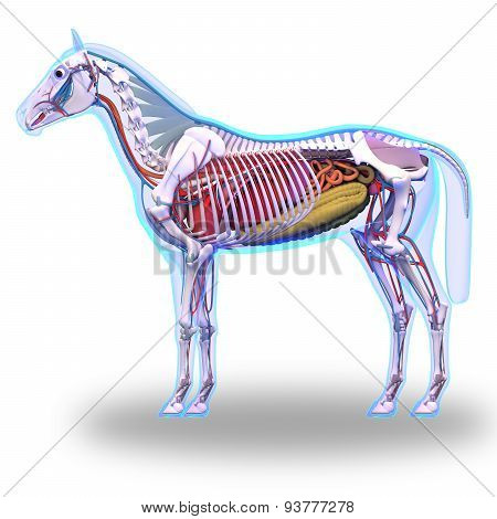 Horse Anatomy - Internal Anatomy Of Horse Isolated On White