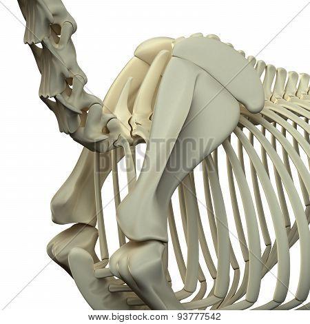 Horse Neck / Scapula - Horse Equus Anatomy - Isolated On White