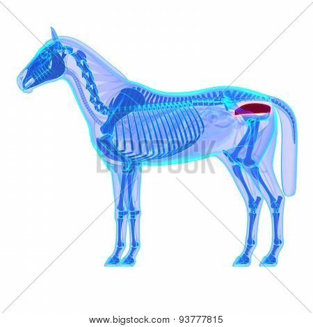 Horse Rectum - Horse Equus Anatomy - Isolated On White