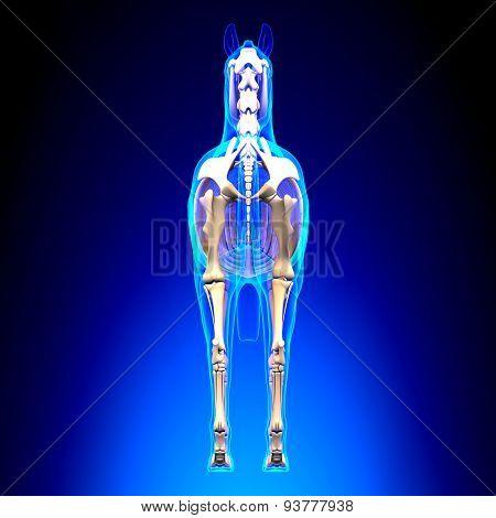 Horse Skeleton Back View - Horse Equus Anatomy - On Blue Background