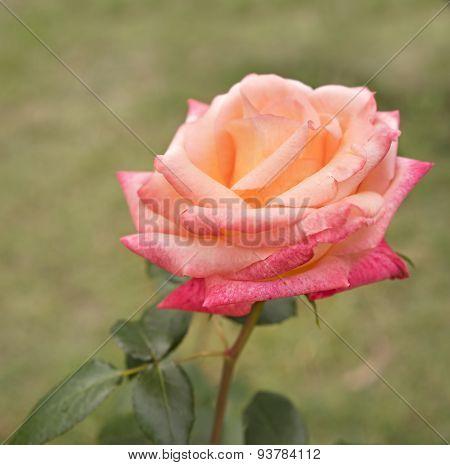 Beautiful Rose Flower In Garden Growing