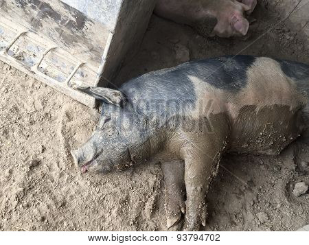 Pig with food coma