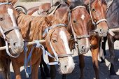Brown horses on ranch at corral. Rural transport poster