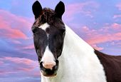 Beautiful paint horse with a sunset background poster