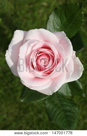 A stunning close up of a single light pink rose