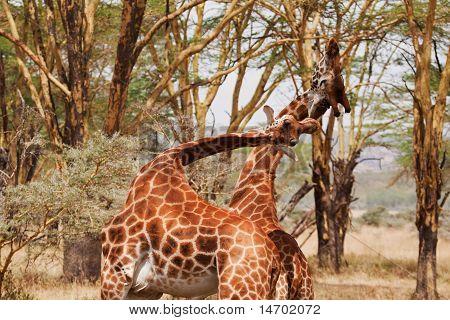 Two Giraffe Fighting