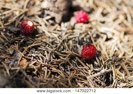 Ant standing over wild strawberry in an anthill