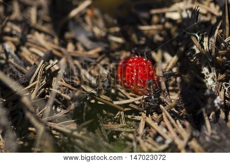 Ripe wild strawberry and ants. Selective focus