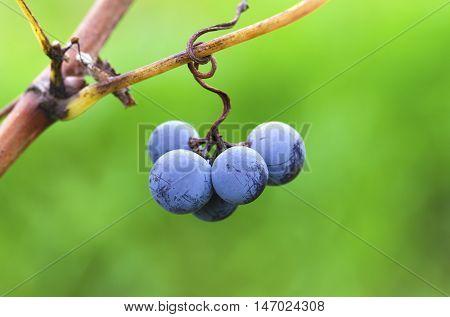 Merlot grapes on a vine. Harvesting time