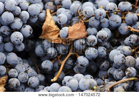 Merlot clusters and leaf in a crate