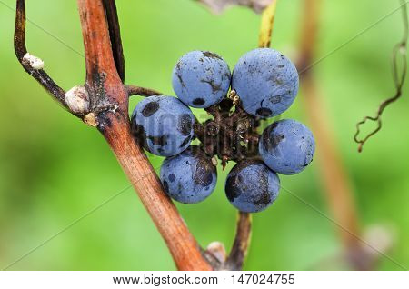 Flower of Merlot grapes on a vine
