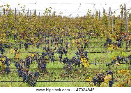 A lot of Merlot rows in a vineyard