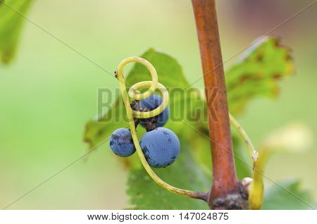 Selective focus on a grape with tendril
