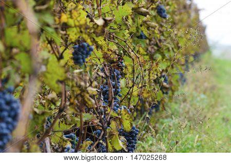 Selective focus. Merlot row in a vineyard