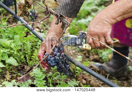 Worker's hands in motion during the vine harvesting. Merlot cluster with rotten grapes.