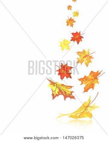Autumn Maple Leaves