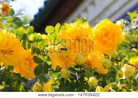 Yellow roses growing on bush in the garden