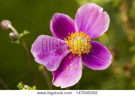 a thimbleweed or chinese anemone blossoming in fall