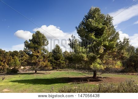 Great Pine in a Llado's way. Teruel province