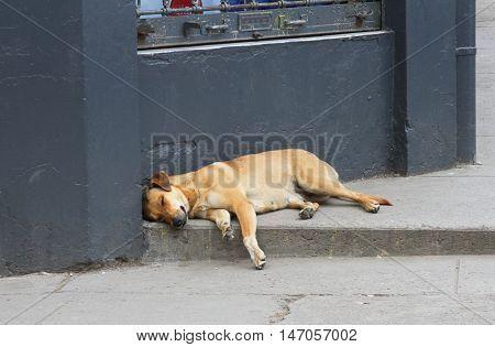 Big brown mixed-breed dog sleeping on sidewalk in city