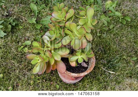 Green thick fleshy leaves with red tips  of  Jade succulent plant or Crassula ovata, Zavet, Bulgaria poster